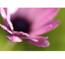Daisy with raindrops Photographic Print