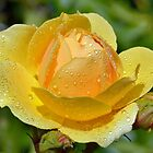 Yellow Rose Portrait. by Terence Davis