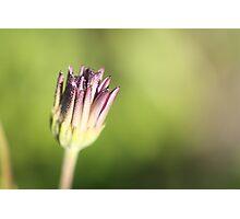 Unopened Daisy Photographic Print