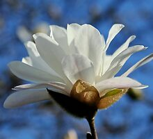 White Magnolia by AnnDixon