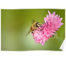 Hoverfly on Cornflower Poster