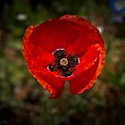 Single floating Poppy by KSKphotography