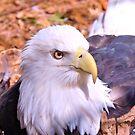 Resting Eagle by ©Dawne M. Dunton