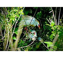 Hidden Deep in the Brush Baby Cattle Egret Photographic Print