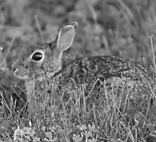 Black and White Bunny by Keala