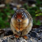 Richardson Ground Squirrel by Vickie Emms