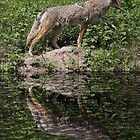 Coyote Reflection by Vickie Emms