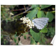Greenish Blue Butterfly Poster