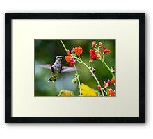 Broad-tailed Hummingbird - Utah Framed Print