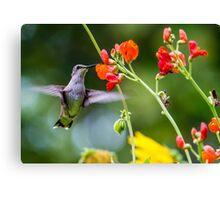 Broad-tailed Hummingbird - Utah Canvas Print