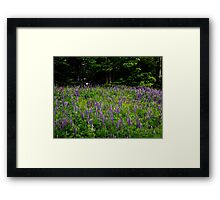 purple lupines Framed Print