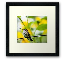 Female Broad-tailed Hummingbird With Sunflowers - Utah Framed Print