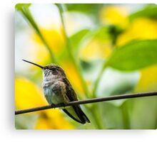 Female Broad-tailed Hummingbird With Sunflowers - Utah Canvas Print
