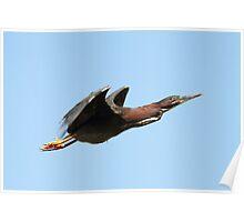 Green Heron in Flight Poster