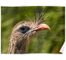 Red-legged Seriema Bird From South America Poster