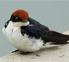 WIRE TAILED SWALLOW – Hirundo smithii - DRAADSTERT SWAEL by Magriet Meintjes