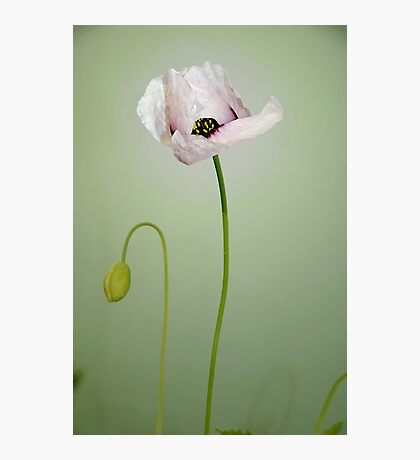 Poppy - plain and simple Photographic Print