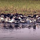 Doing the Pelican Scrum by myraj