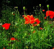 Red Poppies by Vitta