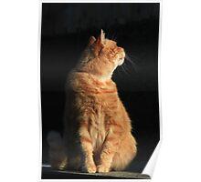 Ginger cat strong sidelighting Poster