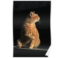 Profile of ginger cat Poster