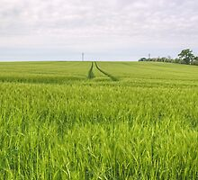 In The Fields Of Barley by Jamie  Green