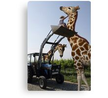 Tickle A Giraffe Canvas Print