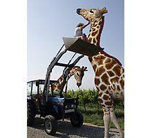 Tickle A Giraffe Photographic Print