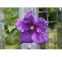 Purple Starflower Photographic Print