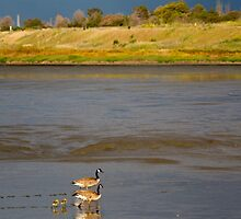 Geese and goslings by gerardofm4