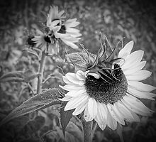 black and white sunflower patch vignette by BBrightman