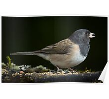 Pink Sided Junco Poster