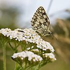 Marbled White.. by Lauren Tucker