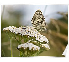 Marbled White.. Poster
