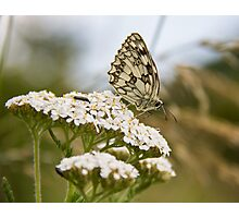 Marbled White.. Photographic Print