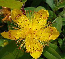 St Johns Wort by MYROCKOPERA