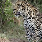 Leopard by Yves Roumazeilles