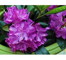 Vibrant Rhododendron Blossoms Photographic Print