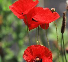 poppy by photogliveco