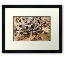 Common Whitetail (Plathemis lydia) Framed Print