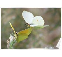 Butterflies in the sun Poster