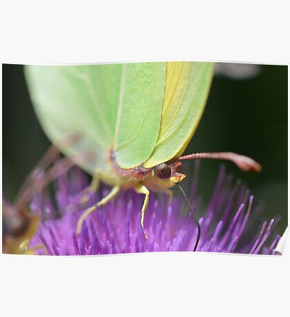 EATING BUTTERFLY Poster