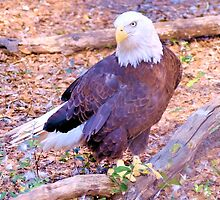 The American Bald Eagle by ©Dawne M. Dunton