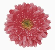 Coral Gerbera Gerber Daisy Flower Floral by wasootch