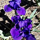 Indigo Deep Purple Iris by Jane Neill-Hancock