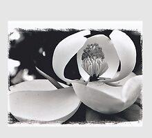 Magnolia beautiful by Sharon Elliott-Thomas