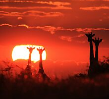 Giraffe - Sunset Love of Red - African Wildlife Background by LivingWild