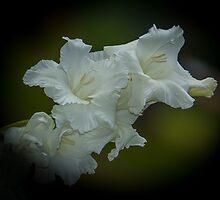 Gladiolus by RandyHume