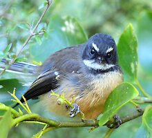 The Look Says It All - NZ Fantail by AndreaEL