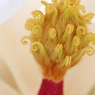 Grandiflora 'sandman' by mooksool